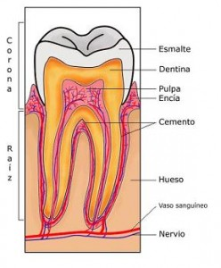 tooth-section-es